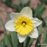 narcissus-flower_33