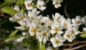 Pear_Blossom_Williams_Christ