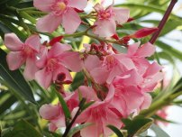 oleander-flower-classified-under-nerium-genus