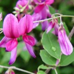 Japanese_Bush_Clover
