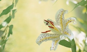Golden-Rayed-Lily-004
